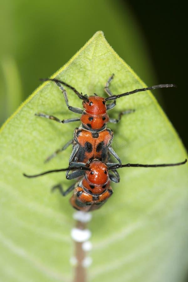 Paires de scarabées rouges de milkweed joignant sur des fleurs dans le Connecticut images libres de droits
