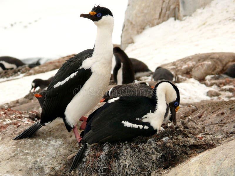 Paires de tapis à longs poils aux yeux bleues s'emboîtant en Antarctique photographie stock libre de droits