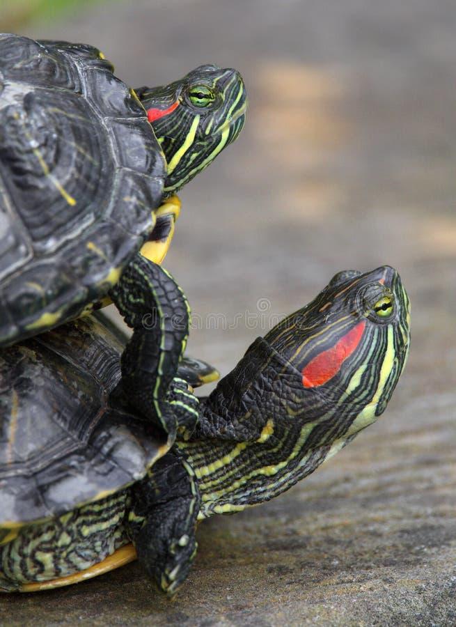 Paires de tortues Rouge-à oreilles de glisseur dans le jardin zoologique image libre de droits