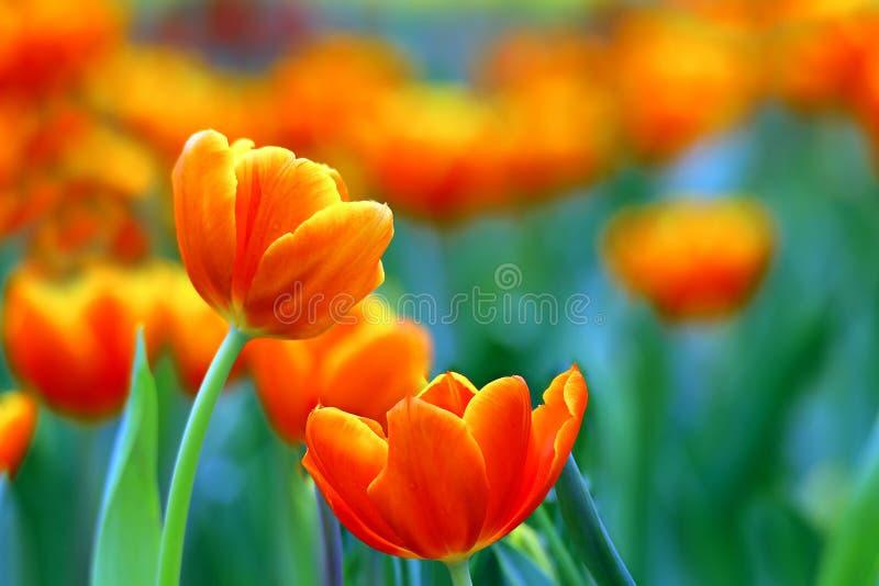Paires de tulipes oranges inclinées par jaune vibrant photographie stock libre de droits