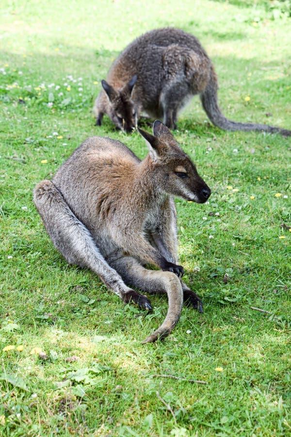 Paires de wallaby en captivité photo stock