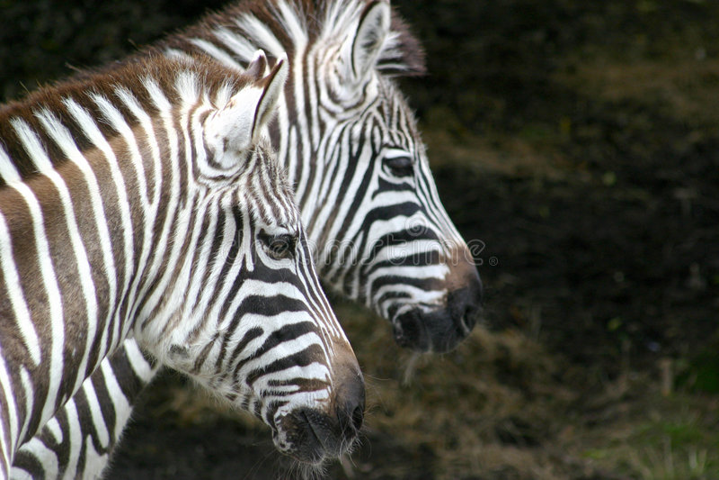 Download Paires de zèbres photo stock. Image du regarder, noir - 2148282