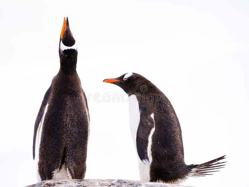 Paires des pingouins de Gentoo, du Pygoscelis Papouasie, d'un appeler et d'un cintrage, port de Mikkelsen, île de trinité, pénins photographie stock libre de droits