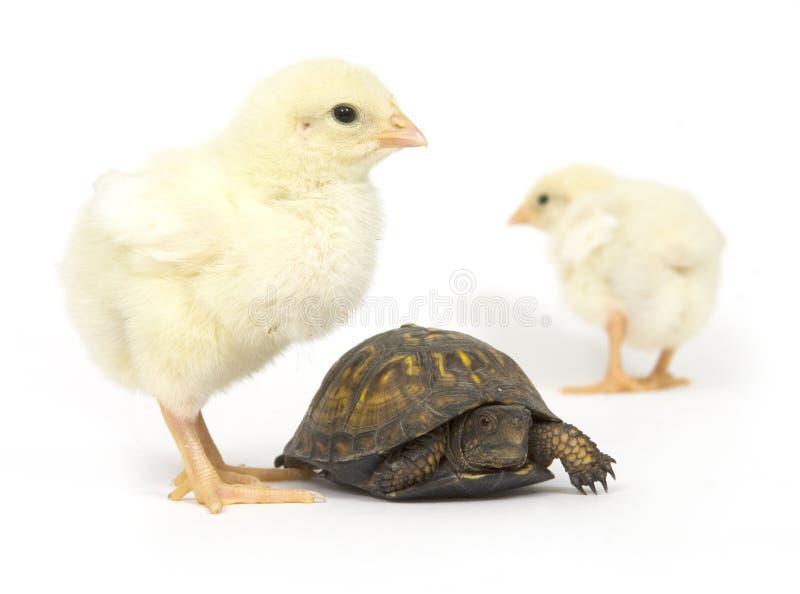 Paires peu probables - nanas de tortue et de chéri photographie stock libre de droits