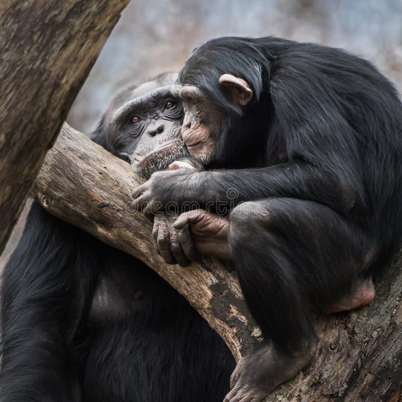 Paires V de chimpanzé photo stock