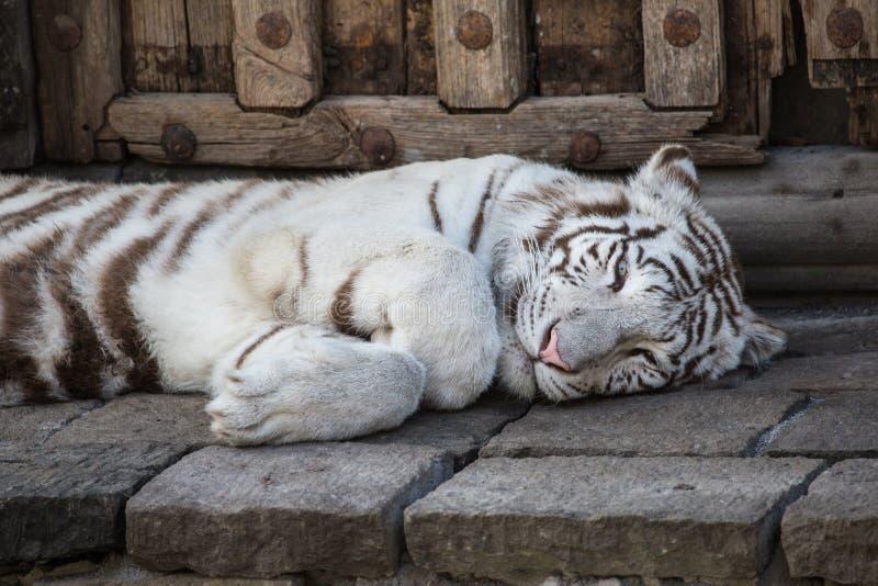 Pairi Daiza -比利时的成人白色老虎 免版税库存照片