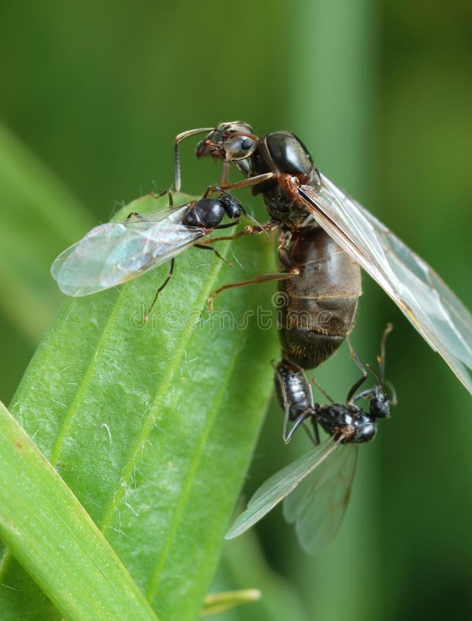 Download The Pairing Of A Black Garden Ant Stock Image - Image: 12802865