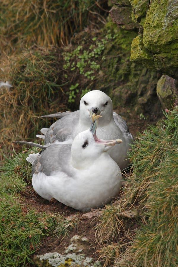 Pairing Fulmars stock images