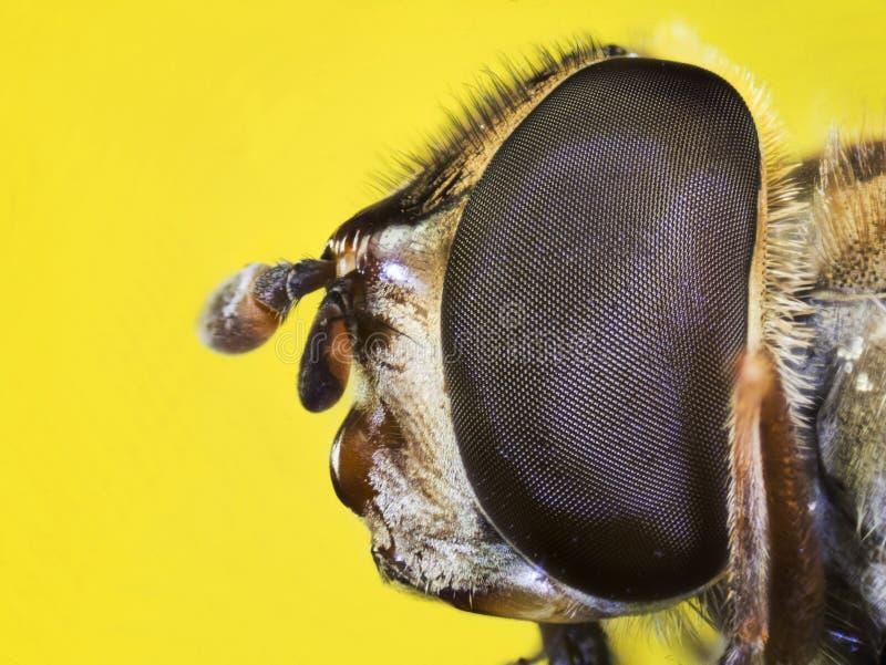 A Pairo-mosca, Hoverfly, mosca, voa fotografia de stock royalty free