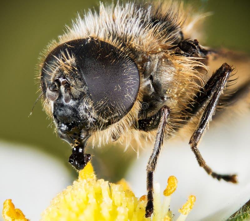A Pairo-mosca, Hoverfly, mosca, voa imagens de stock