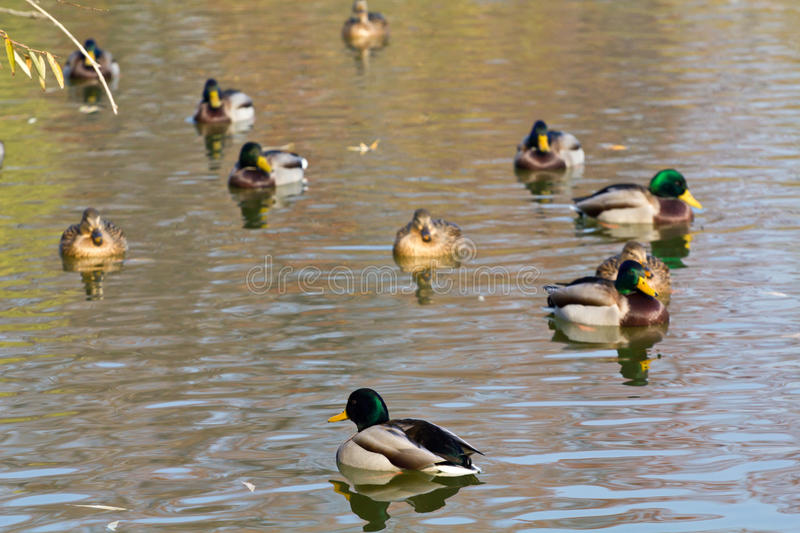 Download Pairs Of Ducks Royalty Free Stock Photography - Image: 26650627