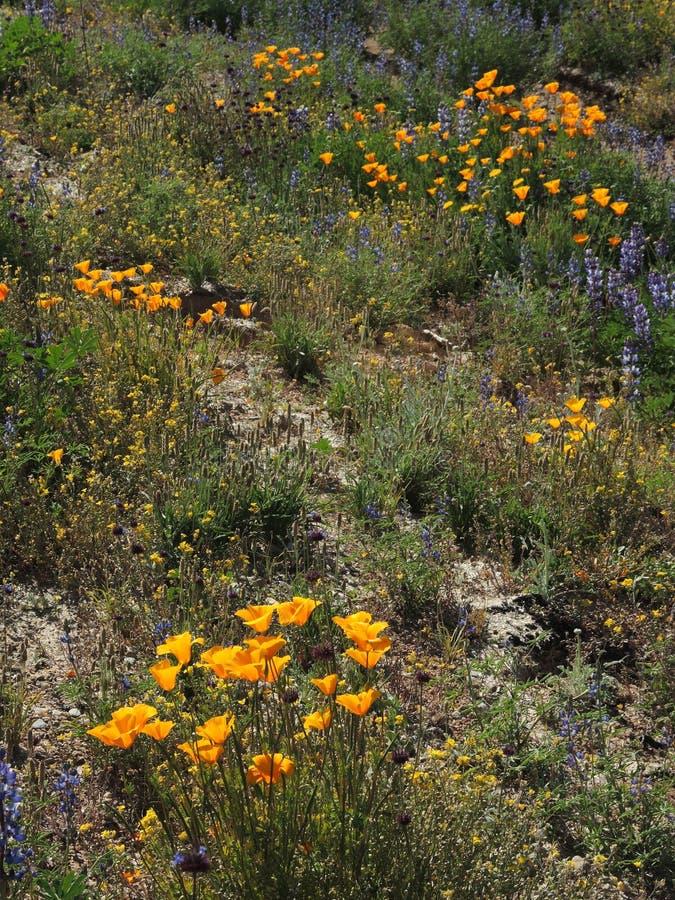 A paisagem árida das cores da mola da mostra do deserto do Arizona com flores selvagens fotografia de stock