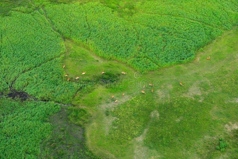 Paisagem aérea no delta de Okavango, Botswana Lagos e rios, vista do avião Vegetação verde em África do Sul Árvores com foto de stock royalty free