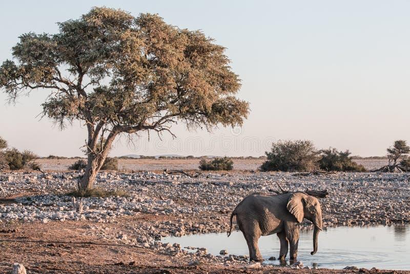 Paisagem africana árida no final da tarde com um elefante em imagem de stock royalty free