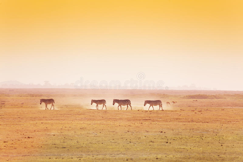 Paisagem africana com o rebanho de passeio das zebras imagem de stock royalty free