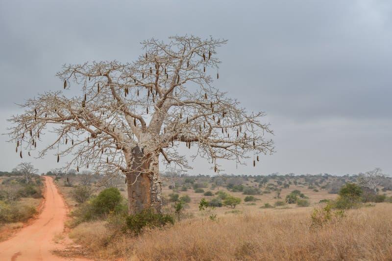 Paisagem africana em Angola, baobab com frutos foto de stock
