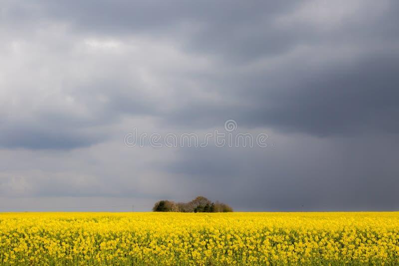 Paisagem agricultural bonita Campo petrolífero da colza Colheita amarela da viola??o de semente oleaginosa fotografia de stock royalty free