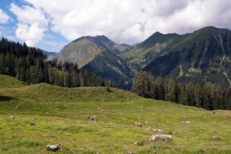 Paisagem alpina e vacas foto de stock