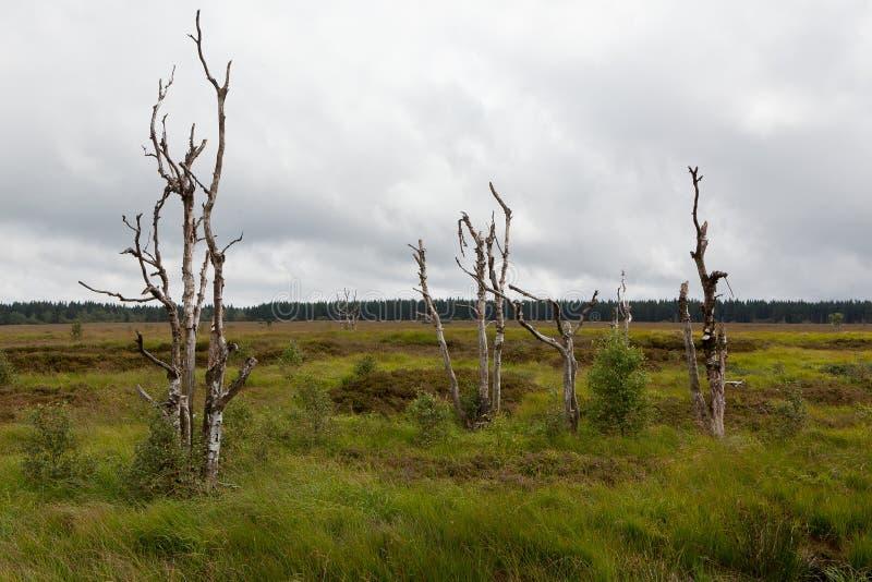 Paisagem alta Botrange Bélgica dos brejos das árvores da morte fotos de stock royalty free