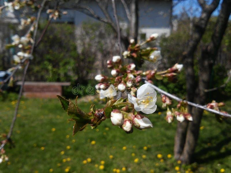 Paisagem bonita com a árvore de ameixa na flor Mola em Lithuania fotografia de stock royalty free