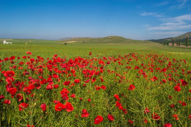 Paisagem bonita com campo de flores vermelhas da papoila e do céu azul em Dobrogea, Romênia imagens de stock royalty free