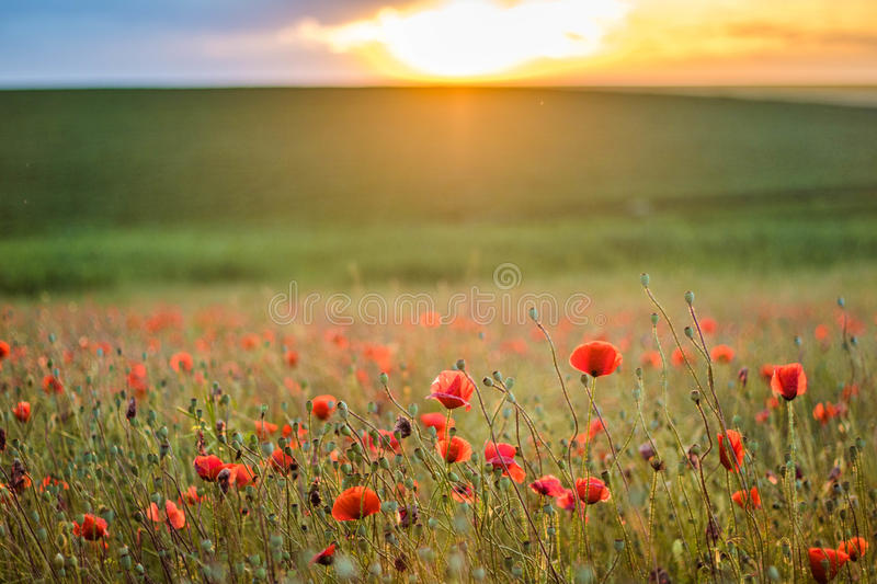 Paisagem bonita com campo de Poppy Flowers At Sunset Wallpaper vermelha fotos de stock royalty free