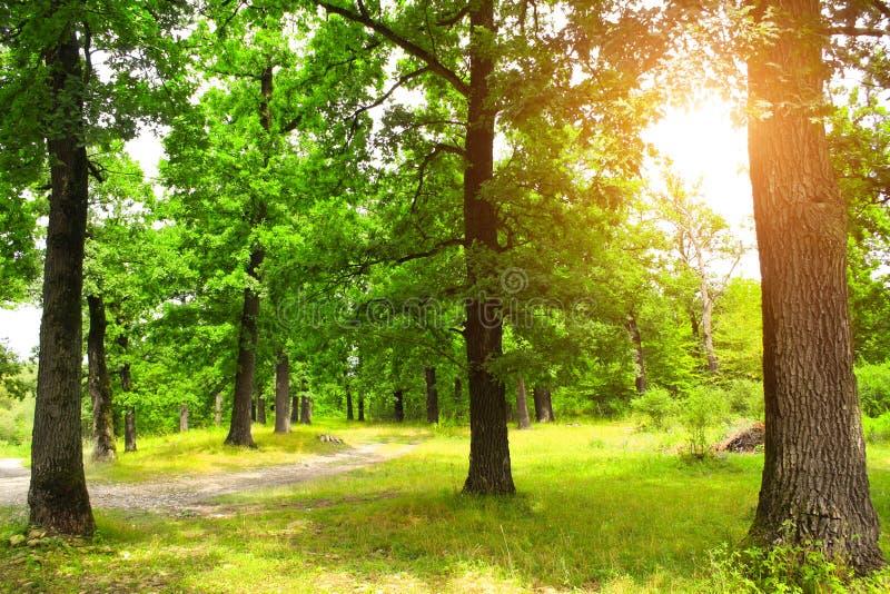 Paisagem bonita com a estrada na floresta do carvalho do verão fotos de stock royalty free