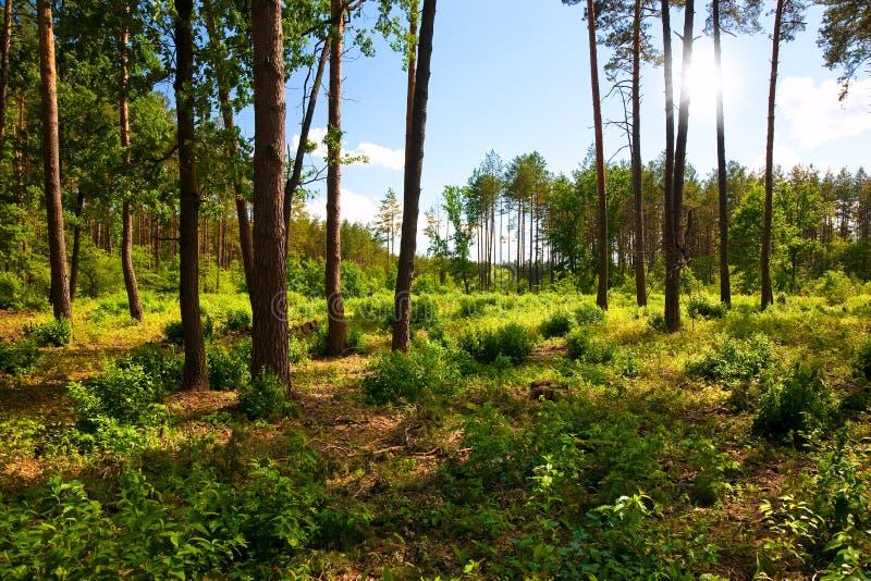 Paisagem bonita com floresta do pinho imagem de stock