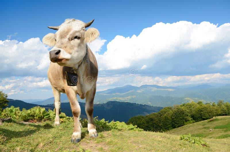 Paisagem bonita com vaca contra um fundo das montanhas e das nuvens no céu fotografia de stock