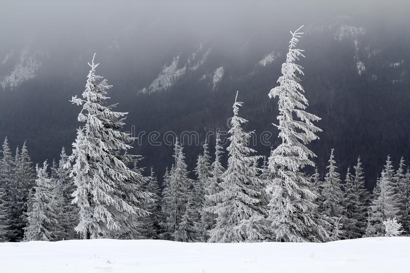 Paisagem bonita da montanha do inverno Os pinheiros sempre-verdes escuros altos cobertos com a neve e a geada no dia ensolarado f imagens de stock royalty free