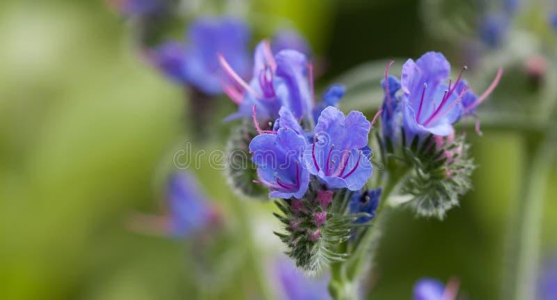 Paisagem bonita das flores selvagens Bugloss do ` s da víbora do vulgare do Echium da planta venenosa e planta de florescência do foto de stock royalty free