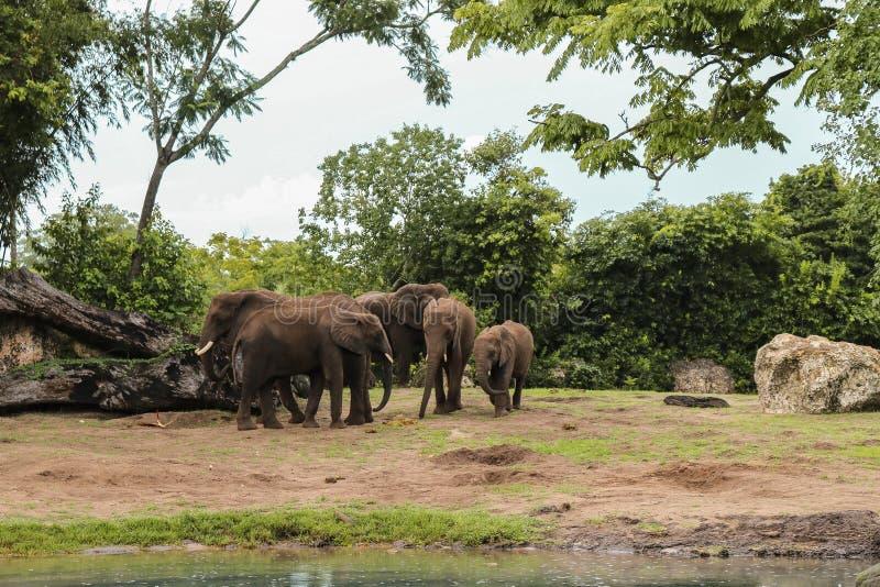 Paisagem bonita de elefantes africanos no parque imagem de stock