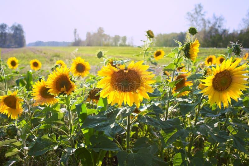Paisagem bonita do campo de florescência do girassol imagem de stock royalty free