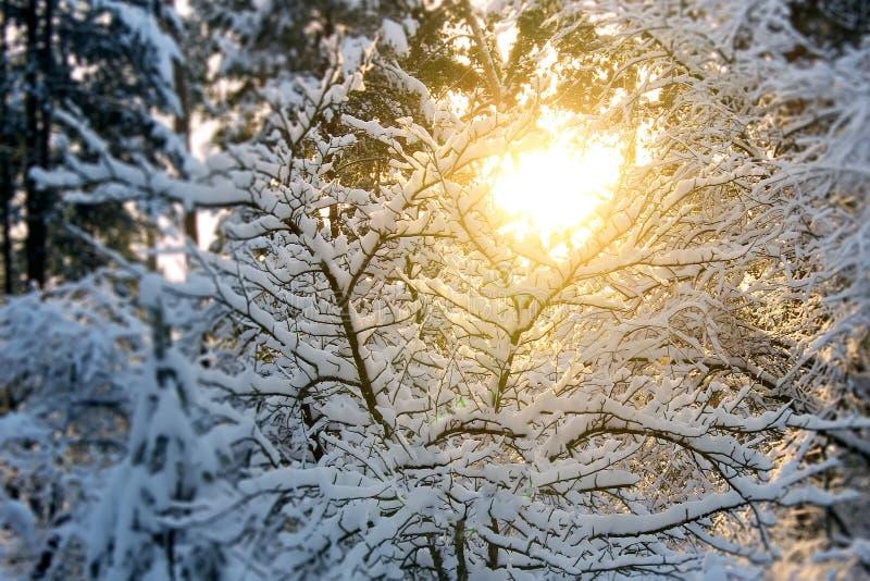 A paisagem bonita do inverno no por do sol com as árvores na neve e o sol brilham através dos ramos fotos de stock royalty free