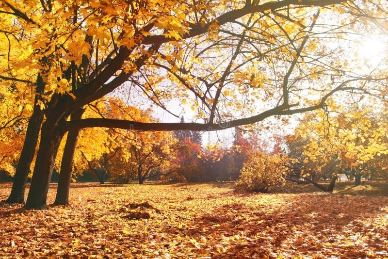 Paisagem bonita do outono Árvores grandes velhas com folha amarela brilhante no parque do outono fotos de stock royalty free