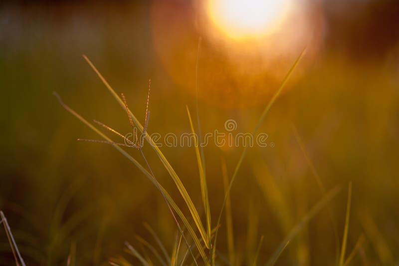 Paisagem bonita do por do sol da agricultura Orelhas do fim dourado do trigo acima Cena rural sob a luz solar Fundo do verão do a imagens de stock royalty free