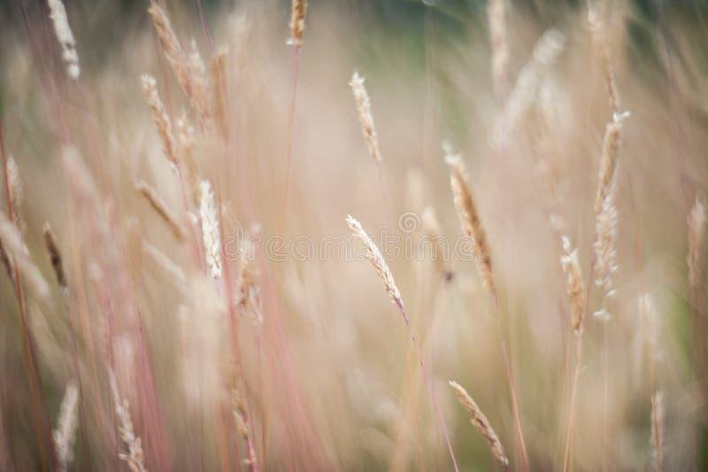 Paisagem bonita do por do sol da agricultura Orelhas do fim dourado do trigo acima Cena rural sob a luz solar Fundo do verão do a fotos de stock