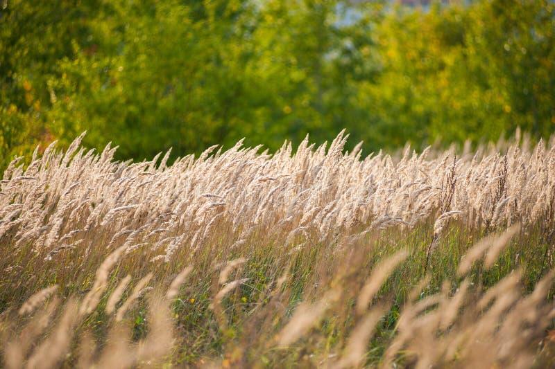 Paisagem bonita do por do sol da agricultura Orelhas do fim dourado do trigo acima Cena rural sob a luz solar Fundo do verão do a imagem de stock royalty free
