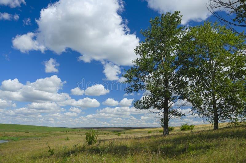 Paisagem bonita do verão com campos e as árvores de álamo crescentes sós fotos de stock