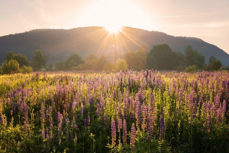 Paisagem bonita do verão, prado ensolarado de flores lupine de florescência na luz do por do sol imagens de stock
