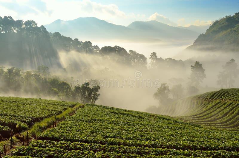 A paisagem bonita e as morangos frescas cultivam em Chiangmai, Tailândia fotos de stock royalty free