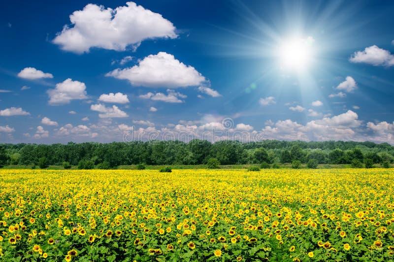 Paisagem brilhante do verão. campo e céu do girassol foto de stock royalty free