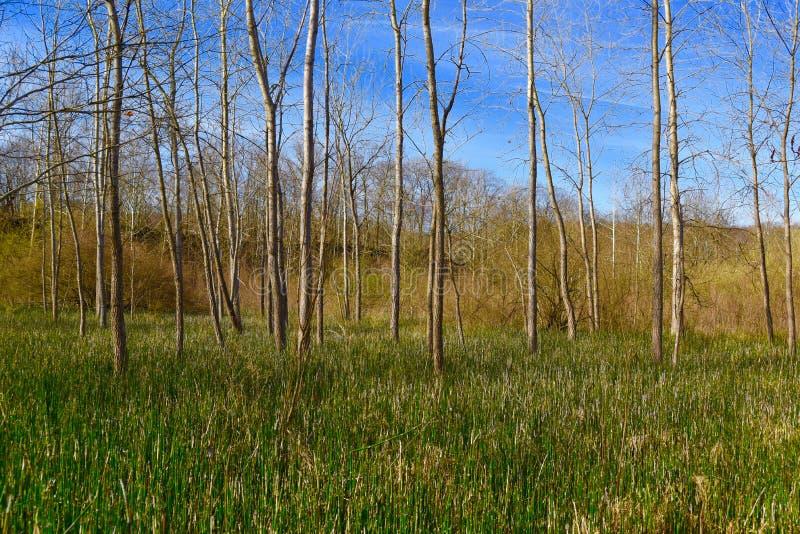 Paisagem cênico de um prado incomum da samambaia do horsetail com as árvores do álamo tremedor de bigtooth fotos de stock royalty free