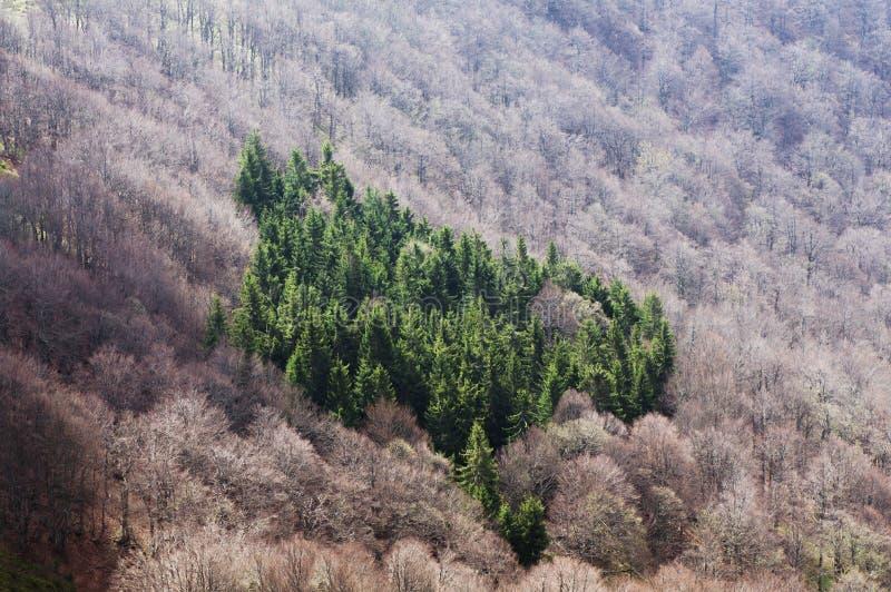 Paisagem com árvores spruce imagens de stock
