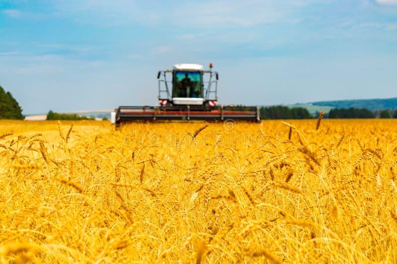 Paisagem com campos de grão amarelos imagens de stock royalty free