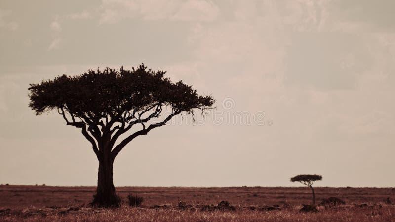 Paisagem com duas árvores, Masai mara de Kenya imagens de stock