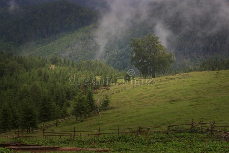 Paisagem com floresta do abeto, as partes superiores da montanha de Misty Carpathian das árvores que colam fora da névoa imagens de stock