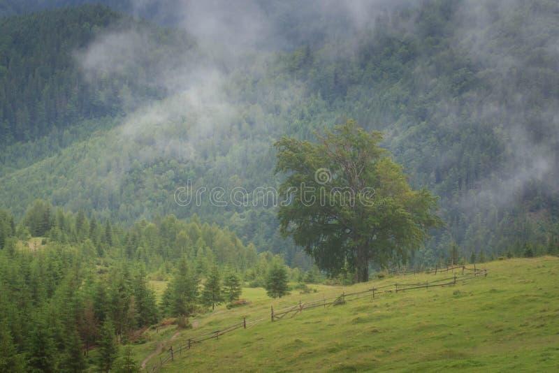 Paisagem com floresta do abeto, as partes superiores da montanha de Misty Carpathian das árvores que colam fora da névoa imagens de stock royalty free