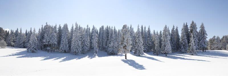 Paisagem com a floresta nevado do pinho fotografia de stock