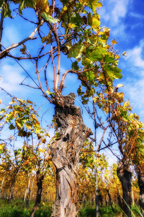 Paisagem com o vinhedo do outono após a colheita fotografia de stock royalty free